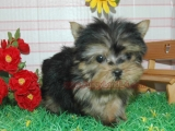 teacup maltese, teacup yorkie