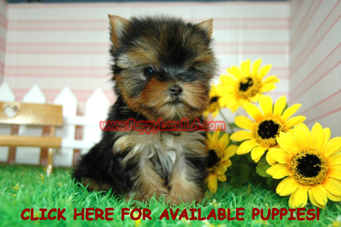 Teacup Yorkie Puppies on Puppylandla  Yorkie  Maltese  Toy  Teacup  Puppies  Breeders  Sale