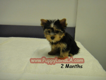 yorkie puppy teacup